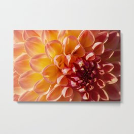 A Fiery colored Dahlia (Asteraceae) shines in the morning sun Metal Print