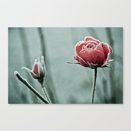 frosted rose and bud in the cold winter Canvas Print