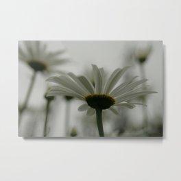 Daisies in White Metal Print