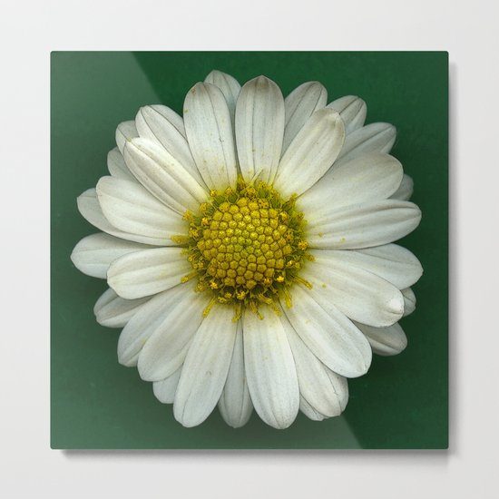 Single White Chrysanthemum Metal Print