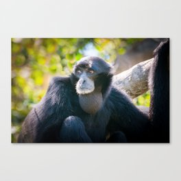 Gibbon 2 -Two by Two Canvas Print