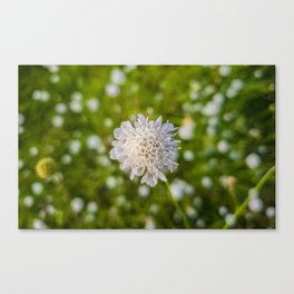 Field scabious Canvas Print