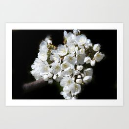 blossoms on black background -04- Art Print