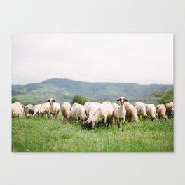 Bulgarian Sheep Canvas Print