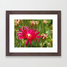 Pink Ice Plant Flower Framed Art Print