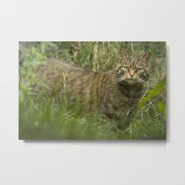 THE HIGHLAND TIGER Metal Print