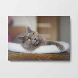 Chartreux cat Metal Print