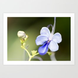 Blue Glory Bower from Bud to Bloom Art Print