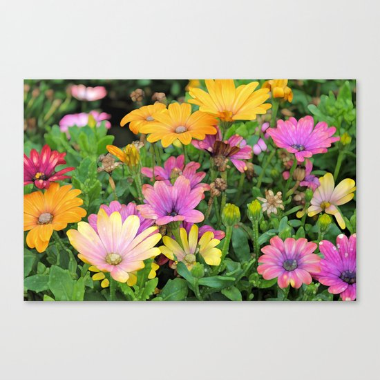 Colorful Spanish Daisies Canvas Print