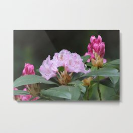 wild rhododendron Metal Print