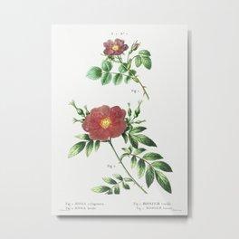 1. Sweetbriar rose (Rosa rubiginosa) 2. Virginia rose (Rosa lupida) from Traité des Arbres et Arbust Metal Print