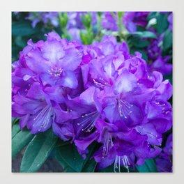 Majestic Purple Rhododendron Canvas Print