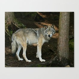 The wise wolf Canvas Print
