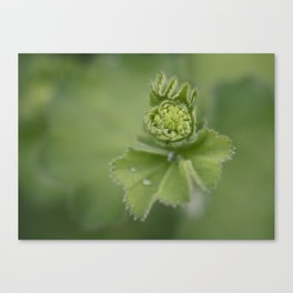 Lady`s mantle is revealing Canvas Print