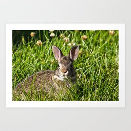 Young Cottontail Rabbit Art Print
