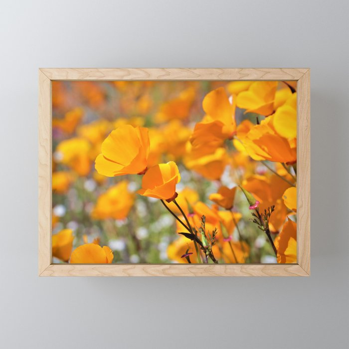 California Gold Poppies by Reay of Light Photography Framed Mini Art Print