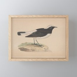 Vintage Print - A History of the Birds of Europe (1859) - Pied Wheatear Framed Mini Art Print