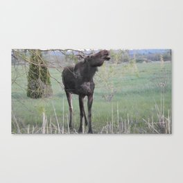 Missy willows evening Canvas Print