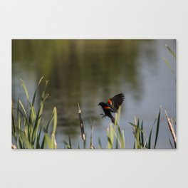 Red on the Wing Canvas Print