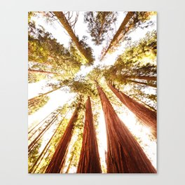 sequoia tree Canvas Print