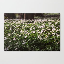 Wood Anemone Field Canvas Print
