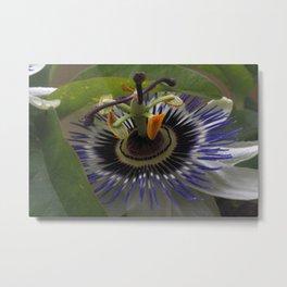 Front View of Beautiful Passiflora Flower Metal Print