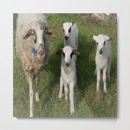 Ewe and Three Lambs Making Eye Contact Metal Print