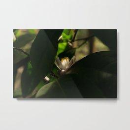 Key lime blossom Metal Print