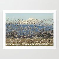 Snow Geese Obscuring Mt. Baker Art Print