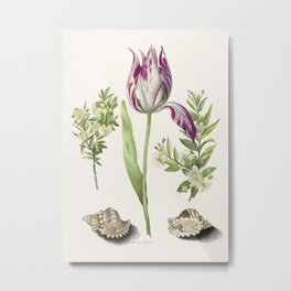 Tulip, two Branches of Myrtle and two Shells (1700) attributed to Maria Sibylla Merian. Metal Print