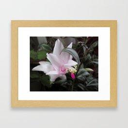 Pink Christmas Cactus Bloom Framed Art Print