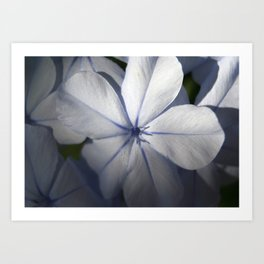 Pale Blue Plumbago Flower Close Up  Art Print