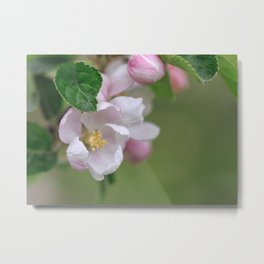 Tender Apple Tree Blossoms In Spring Metal Print