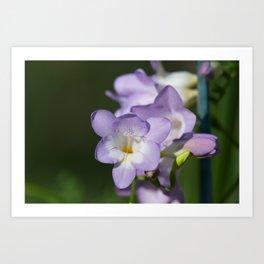 Lavender Freesias Art Print