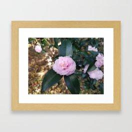 Pink Camelia Blosom Framed Art Print