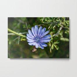 Chicory Flower Metal Print