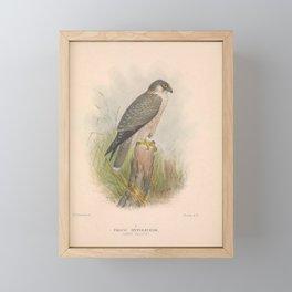 020 Grey Falcon falco hypoleucos4 Framed Mini Art Print