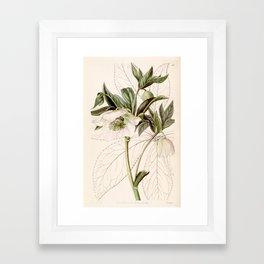 Helleborus orientalis Framed Art Print