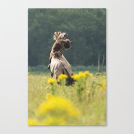 horse fighting Canvas Print