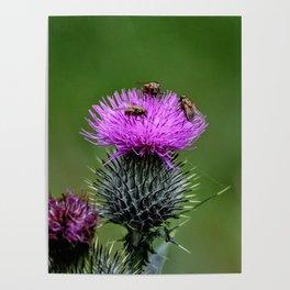 Flower of Scotland Poster