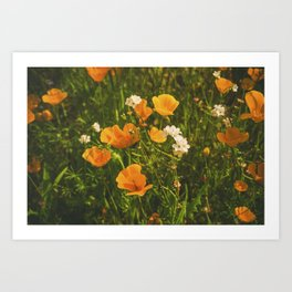 California Poppies 008 Art Print