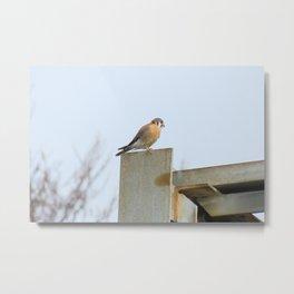 Sparrowhawk (Kestrel) Steel Span 11 Metal Print