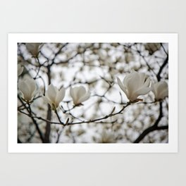 White Blossoms Art Print