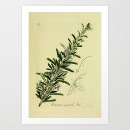 Botanical Rosemary Art Print