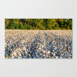 Cotton Field 17 Canvas Print