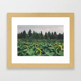 Sunflower Field, Sauvie Island, OR  Framed Art Print