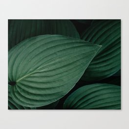 Hosta leaves. Canvas Print