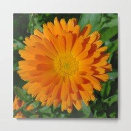 Orange Marigold Close Up With Garden Background  Metal Print