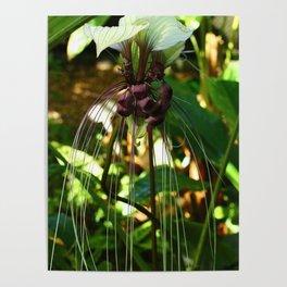 White Bat Flower Poster