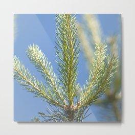 pine tree tops Metal Print